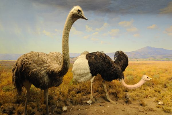 FG Ostriches