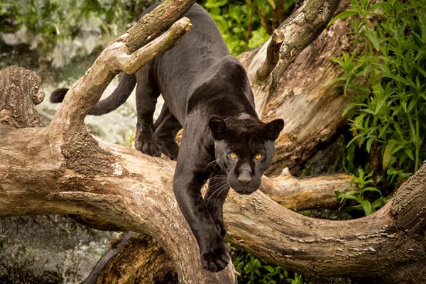 Jaguar-Full